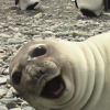 foxfirefey: A seal making a happy face. (happyface)