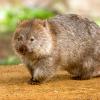 veleda_k: Picture of a wombat (Wombat)