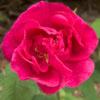 "gwyneira: Rosa gallica ""officinalis"" (officinalis)"