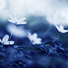 dream_weaver: (blueflower)