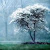 marusarel: a white flowering cherry tree in pale misty woods (Twelve: White/Irmo)