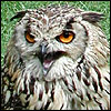 telophase: (Angus the Angry Owl)