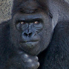 telophase: (Gorilla - exasperated)