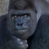 telophase: (Gorilla - exasperated)
