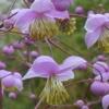 jinian: (Thalictrum uchiyamai)