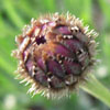 jinian: (bachelor's button bud)