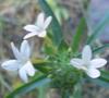 jinian: (Collomia grandiflora)