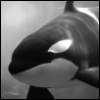 mistressjinx: orca (orca)