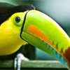 sid: (pretty Toucan)
