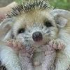 miniproject: tiggywink (hedgehog)