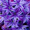 chekhovs_whore: (Hyacinth)