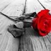 revolutions: A red rose lying on wooden floorboards; black & white image except for the rose's petals, which are bright red. (red rose)