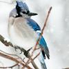 flowerhack: (Blue Jay)