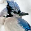 flowerhack: (Blue Jay (Cropped))