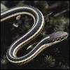 diceam_iuste: (garden serpent.)