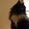 isis: My fuzzy tuxedo cat Henry by the window (henry)