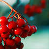 dodificus: (red fruit)