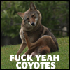 bodlon: (fuck yeah coyotes)