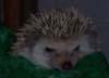 oursin: Grumpy looking hedgehog (grumpy hedgehog)