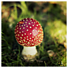 chalcopyrite: Close-up of a fly agaric toadstool in short grass (seasons: autumn: toadstool)