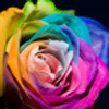 cdvla313: (rainbow rose)