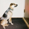 jesse_the_k: ACD Lucy stares hard at the closed front door, ready for anything (Lucy expectant)