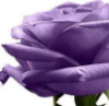 lucimoon: Purple Rose (pic#7428250)