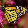 shiraume_fic: (Monarch Butterfly)