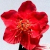 shiraume_fic: (Plum Blossom (Red))