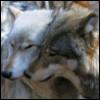 queerwolf: (cuddle wolves)