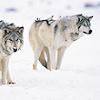 queerwolf: (winter wolves)