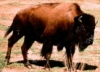 albionidaho: (bison)