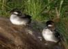 albionidaho: (Ducks)