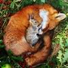 sasha_feather: a fox curled up around a rabbitt (fox and rabbit)