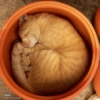 questioncurl: Marmalade cat curled up asleep in terracotta pot (sleepy)