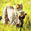 laurose8: (cheetah&son)
