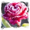 isabelladangelo: (Winter Rose)
