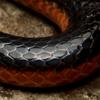 umbrael: (Lizard King • Coils)