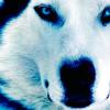 katemacetak: (wolf)