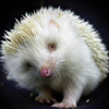 oursin: Coy looking albino hedgehog lifting one foot, photograph (sweet hedgehog)