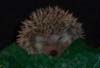 oursin: Sleeping hedgehog (sleepy hedgehog)