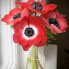 ieune: red flowers in glass vase (red anemones)