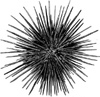 oursin: Photograph of a spiny sea urchin (Spiny sea urchin)