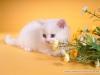 painandlight: (creams kitten)
