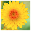 semielliptical: yellow flower (cheerful)