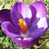 ellarien: photo of purple crocus flower (spring2)