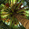 pinesandmaples: A coconut tree viewed from the ground (theme: dizzy)
