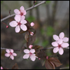 icepixie: ([Photos Stock] Cherry blossoms)