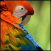 zebi: (Scarlet Macaw)