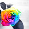esmenet: a rainbow rose (rainbow rose)